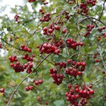 Clusters of red hawthorn berries hanging in the hegerow