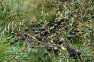 sloes1